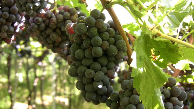 Grapes video