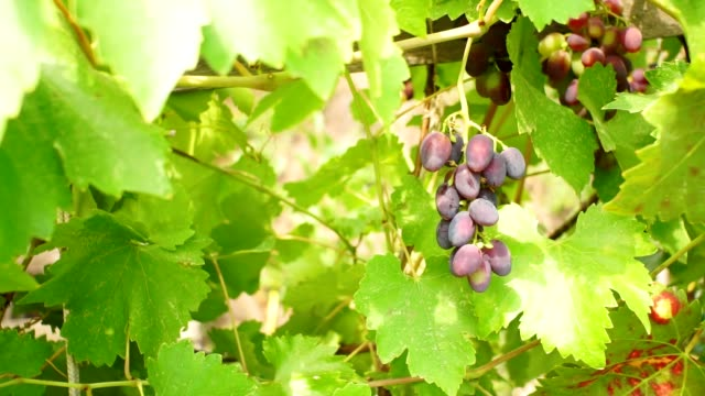 Grapes Vineyard. Ripe Grapes On The Vine For Making White Wine. bright Sunny day ripe fruit