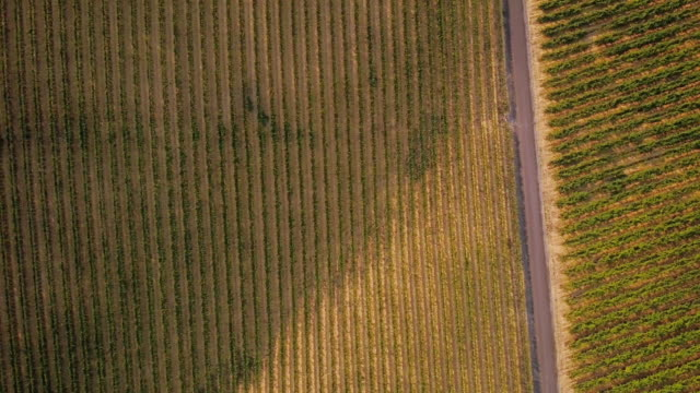 Grapevines Growing in Vineyard From Above video
