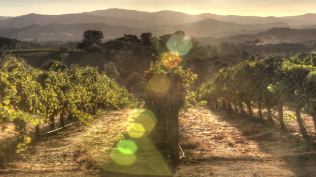 grapevines in morning light - azienda vinivola video stock e b–roll