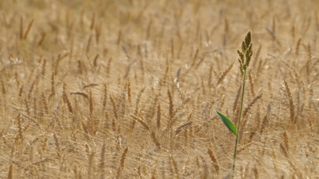 grass and golden barley field swaying in the wind on a sunny day - paglia video stock e b–roll
