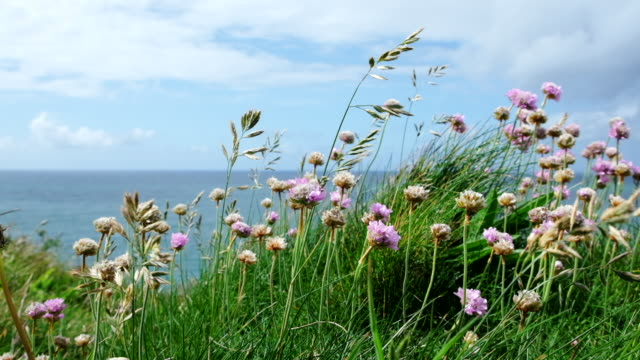 grass and pink sea thrift swaying in slow-motion at Pentire, Newquay on a June day. video