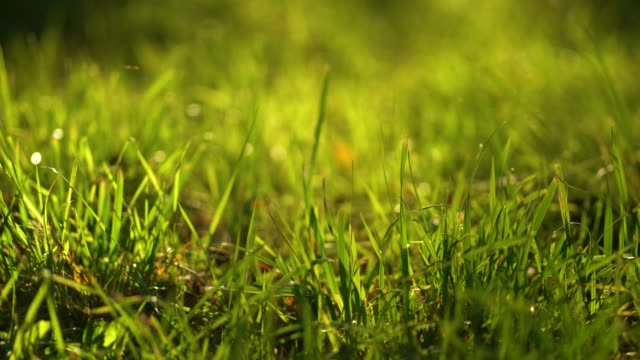 Grass blades in sun light. Natural background. 4k resolution. Grass lawn close-up scene in sunbeams. blade of grass stock videos & royalty-free footage
