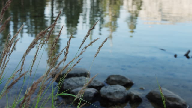 Grass Blowing in Breeze By Flowing Merced River video