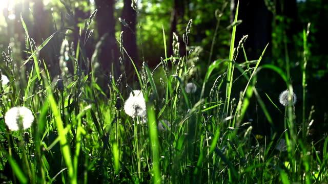草、たんぽぽ春の夕日 - ふわふわ点の映像素材/bロール