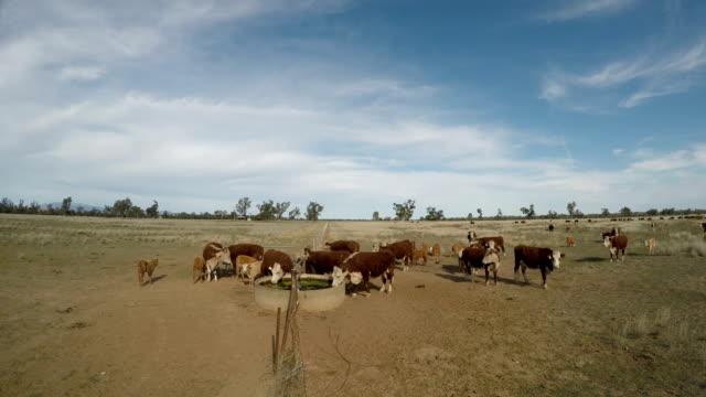 Grass fed beef cattle heifers drinking during drought.