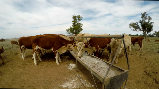 Grass fed beef cattle heifers feeding from trough during drought