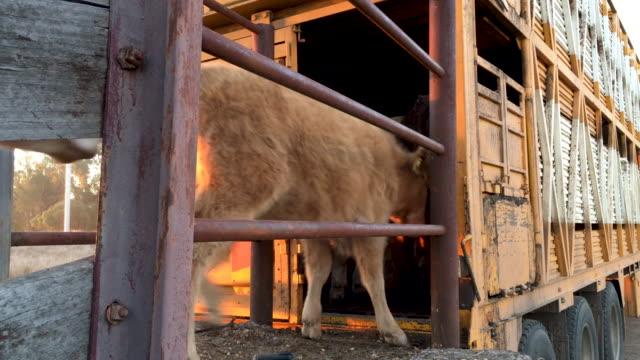 vídeos de stock e filmes b-roll de grass fed beef cattle steers being loaded on a cattle truck - gado animal doméstico