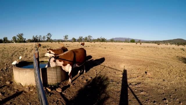 Grass fed Cattle drinking from a water station at sunset video