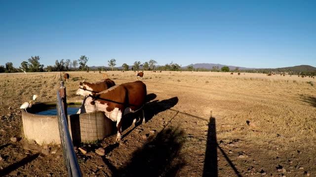 グラスフェッド水駅から夕日を飲む牛 - 家畜点の映像素材/bロール