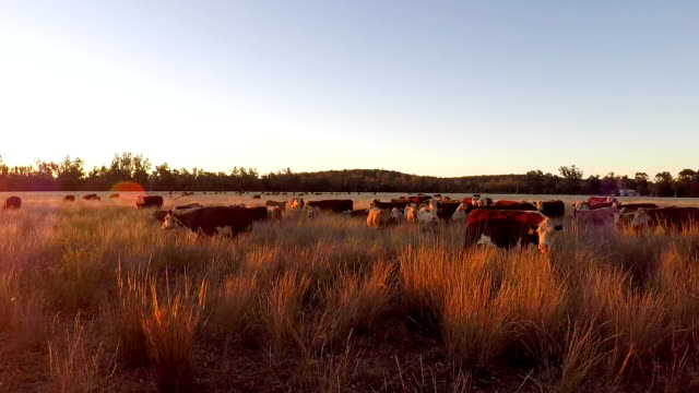 Grass fed Cattle grazing at sunset video