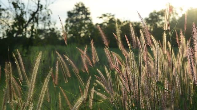 grass field in sunset - schilf stock-videos und b-roll-filmmaterial