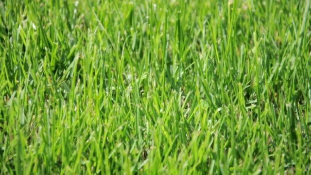 Grass Field-Close up video