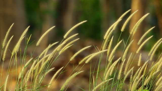 grass flower and wind video