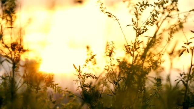 gräs blomma vid solnedgången i fältet, i solen - abstract silhouette art bildbanksvideor och videomaterial från bakom kulisserna