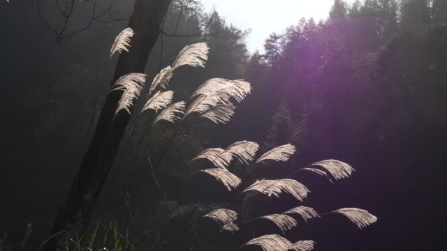 Grass flower heads sway in wind,guilin,china