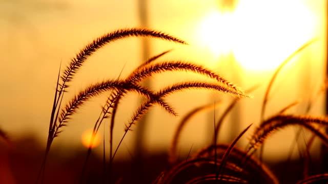 Grass flower in sunset video