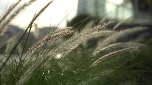 Grass flower in the wind with city background Nature and city blade of grass stock videos & royalty-free footage
