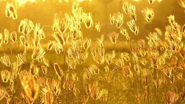 Grass Flowers at Sunset Slow motion