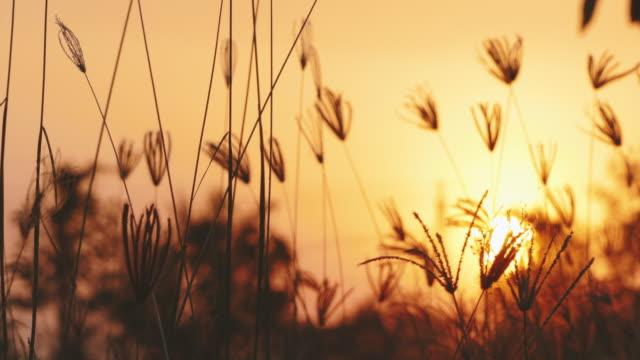 gräs blommor gyllene solljus i vinden. - abstract silhouette art bildbanksvideor och videomaterial från bakom kulisserna