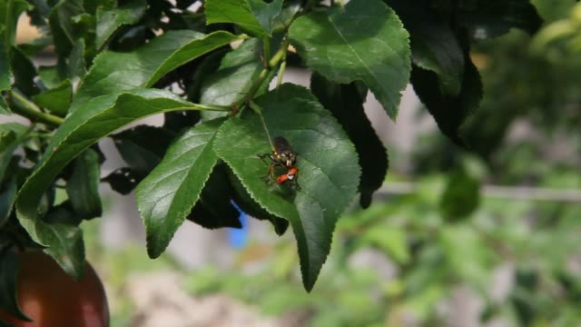 Grass fly is holding a ladybug Insects sitting on a green leaf of plum tree parasitic stock videos & royalty-free footage