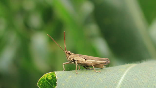 Grass hopper video