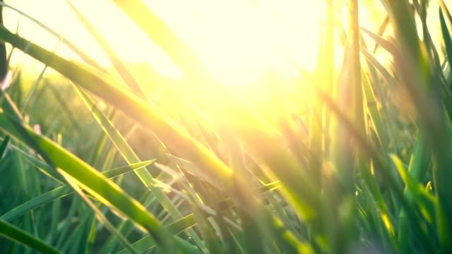 bahar günbatımı çimen - ön plan net arka plan flu stok videoları ve detay görüntü çekimi