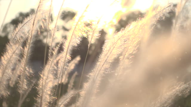 vídeos de stock e filmes b-roll de grass in sunset light with dust slow motion - macro