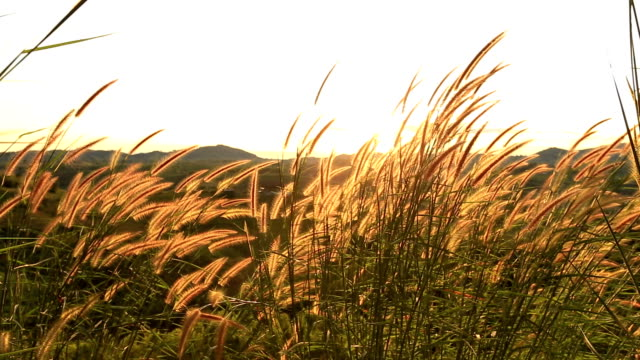Grass in the breeze Flower  grass in the breeze grass area stock videos & royalty-free footage