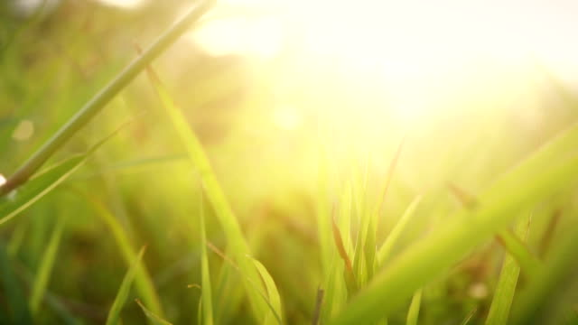Grass in the Wind During Sunset video