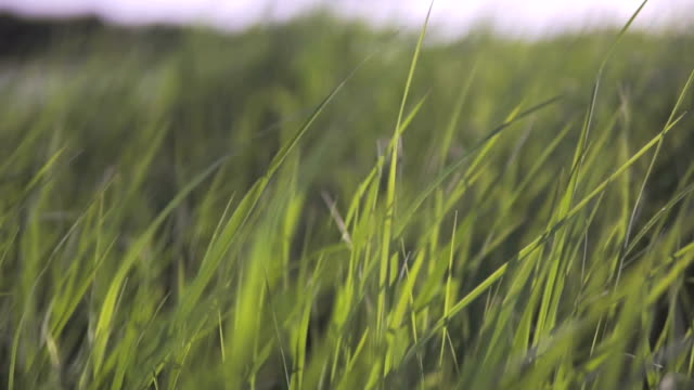Grass in the wind in slow motion