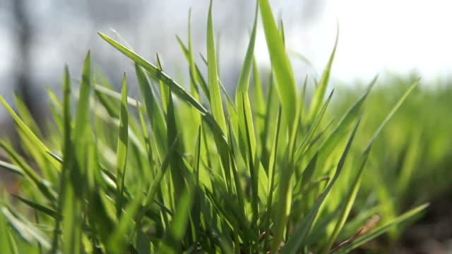 grass in the wind, low camera angle. video