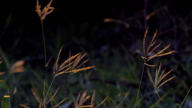 Grass in wind at sunset . video