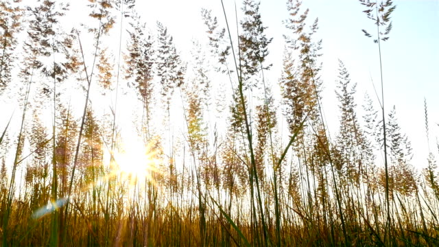 Grass on sunset background. Strong wind. Bright sun rays. Slow-motion video
