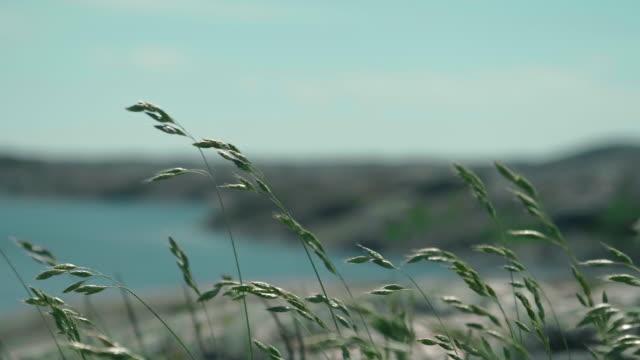 Grass waving in the wind on the swedish westcoast