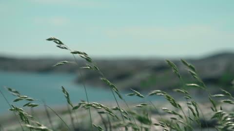çim i̇sveç westcoast rüzgar sallayarak - rüzgar stok videoları ve detay görüntü çekimi