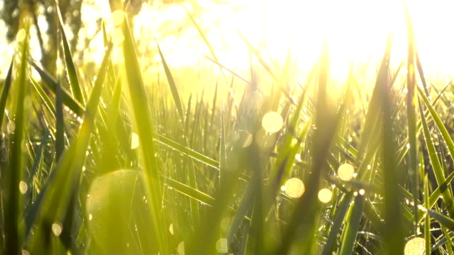 grass with dew - plants stock videos & royalty-free footage