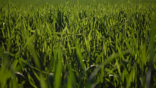 Grass with glimmering sun in wind Grass with glimmering sun in wind biofuel stock videos & royalty-free footage