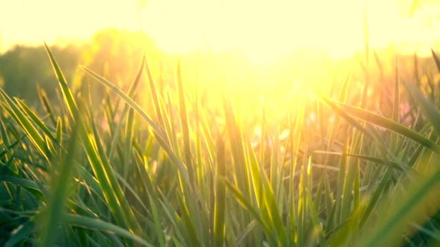 草、サンセット - ローアングル点の映像素材/bロール