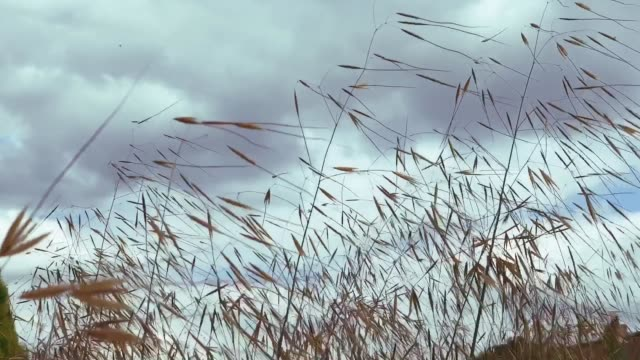 Grasses waving in the wind