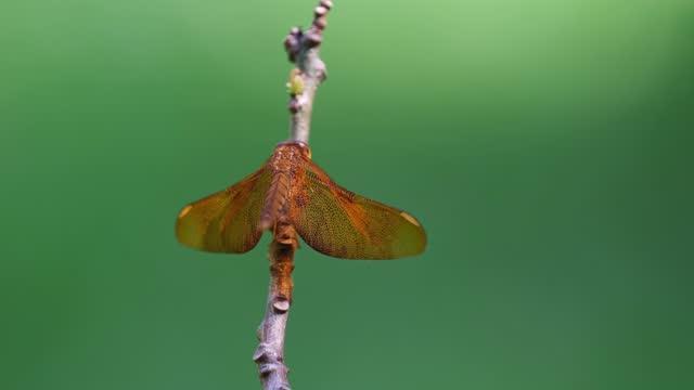 libellula grasshawk, neurothemis fluctuans; su un ramoscello al centro della cornice - libellulidae video stock e b–roll