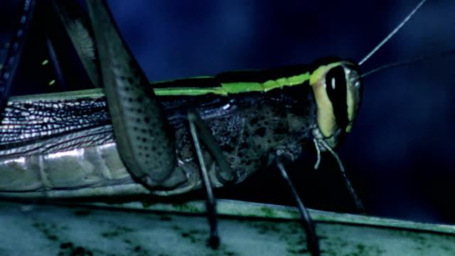 Grasshopper at night video