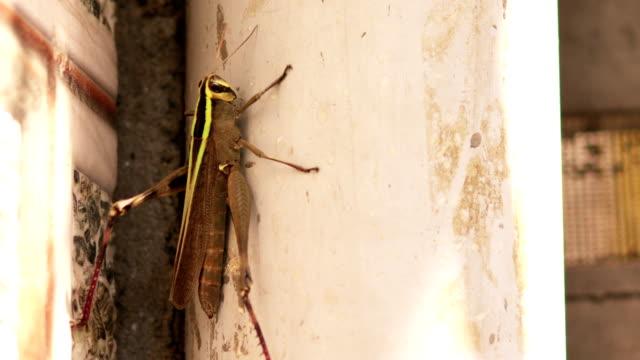 Grasshopper climbing on wall