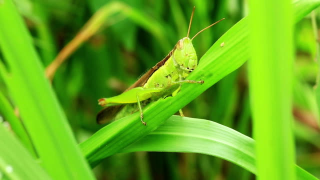 Grasshopper eating leaf video