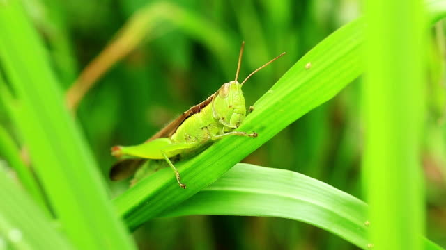 grasshopper eats leaf video