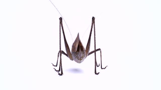 heuschrecke. riesige katydid. weiblich. - feldheuschrecken stock-videos und b-roll-filmmaterial