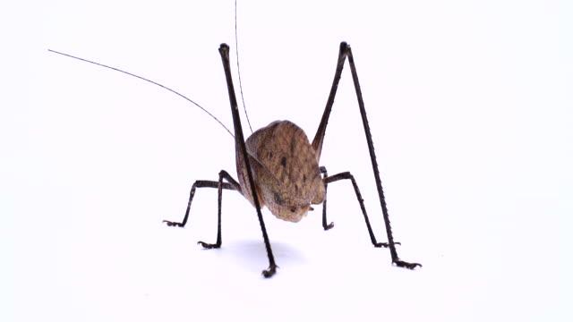 heuschrecke. riesige katydid. männlich. - feldheuschrecken stock-videos und b-roll-filmmaterial