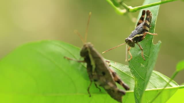 Grasshopper in action video