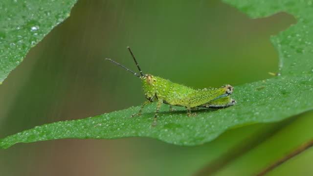 Grasshopper in nature. video