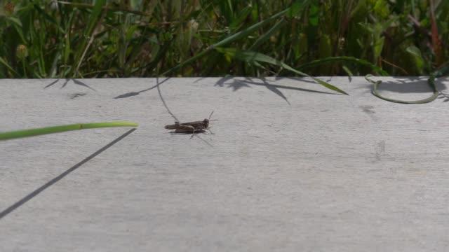 grashüpfer-insekt springen zeitlupe - feldheuschrecken stock-videos und b-roll-filmmaterial